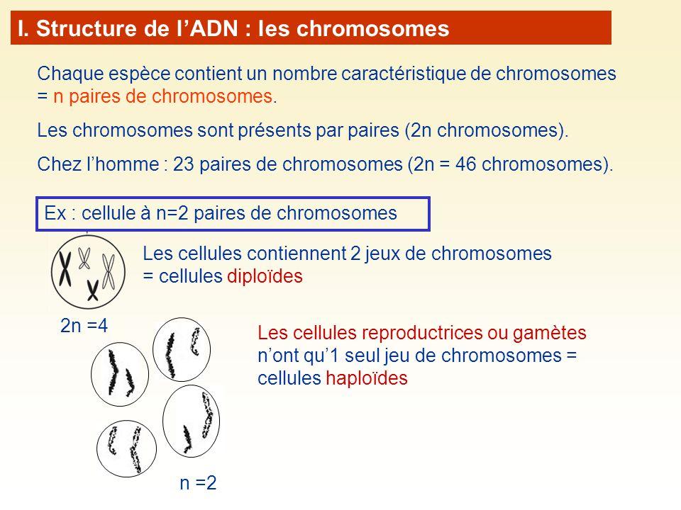 Chaque espèce contient un nombre caractéristique de chromosomes = n paires de chromosomes. Les chromosomes sont présents par paires (2n chromosomes).