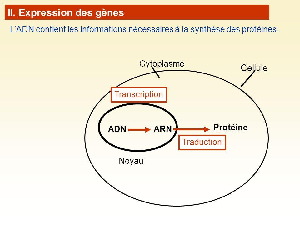 Cellule Noyau Cytoplasme ADN Transcription ARN Protéine Traduction LADN contient les informations nécessaires à la synthèse des protéines.