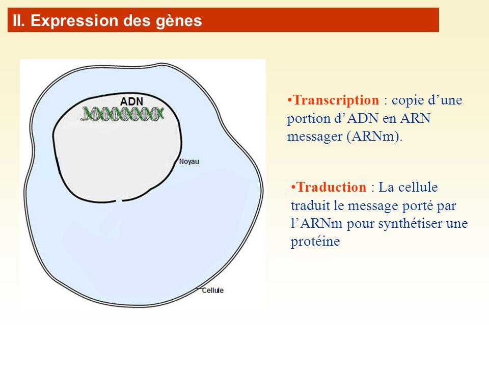 Transcription : copie dune portion dADN en ARN messager (ARNm). II. Expression des gènes Traduction : La cellule traduit le message porté par lARNm po