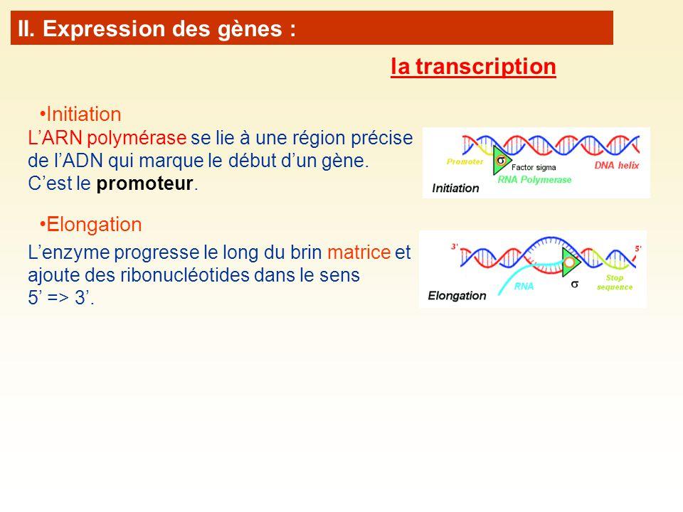 Elongation Lenzyme progresse le long du brin matrice et ajoute des ribonucléotides dans le sens 5 => 3. Initiation LARN polymérase se lie à une région