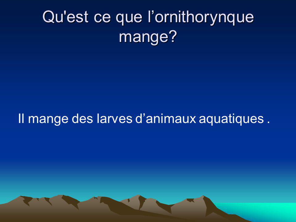 Qu est ce que lornithorynque mange? Il mange des larves danimaux aquatiques.