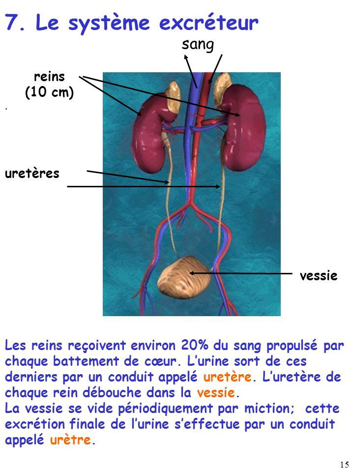 15 reins (10 cm). sang uretères vessie 7. Le système excréteur Les reins reçoivent environ 20% du sang propulsé par chaque battement de cœur. Lurine s