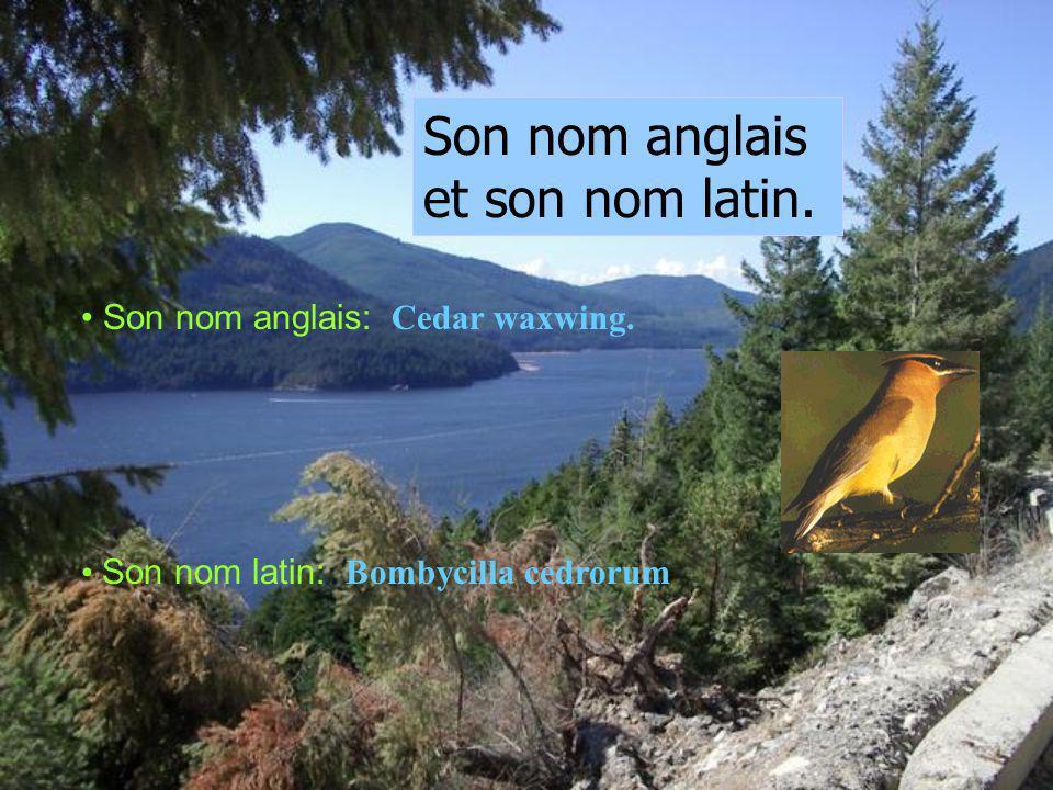 Son nom anglais et son nom latin.Son nom anglais: Cedar waxwing.