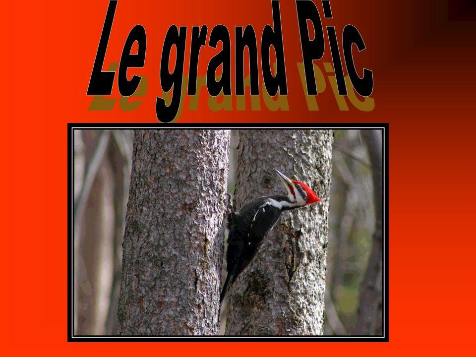 Nom anglais: Pileated Woodpecker Nom latin: dryocopus pileatus
