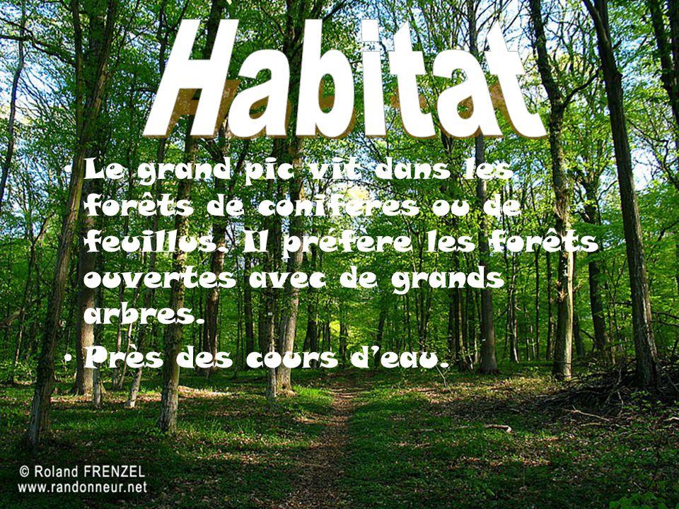 Le grand pic vit dans les forêts de conifères ou de feuillus.