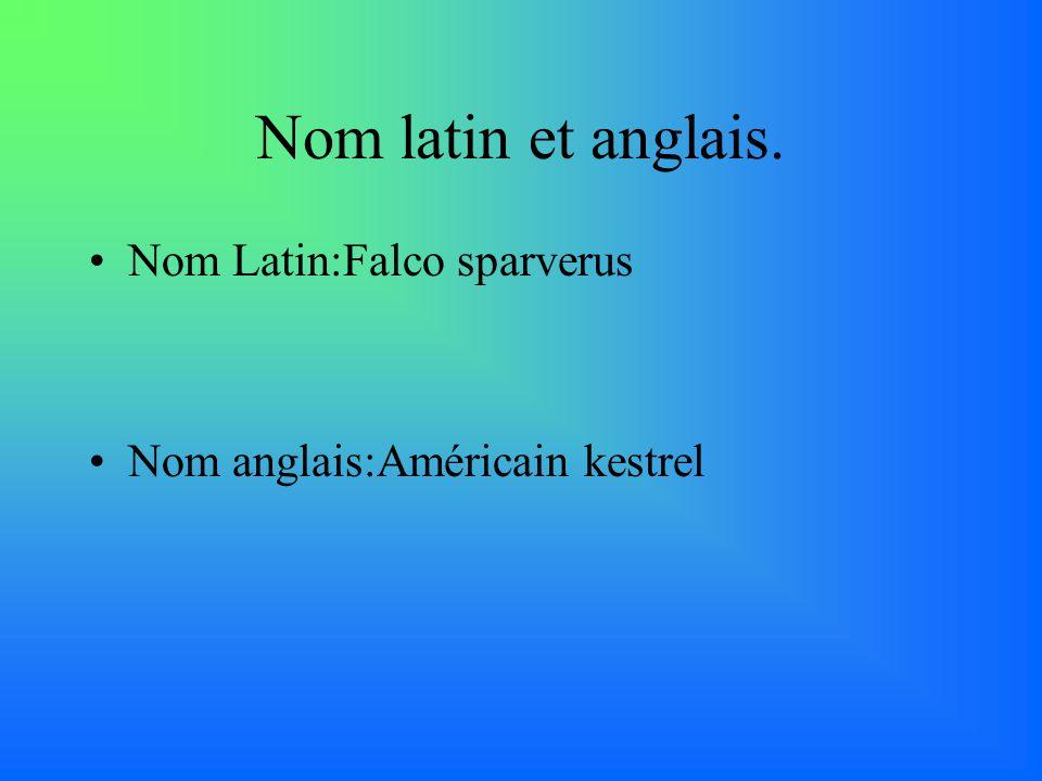 Nom latin et anglais. Nom Latin:Falco sparverus Nom anglais:Américain kestrel