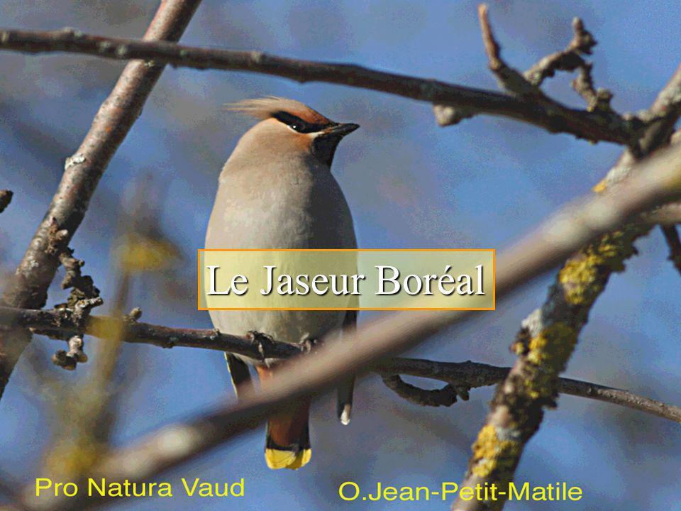 Le Jaseur Boréal