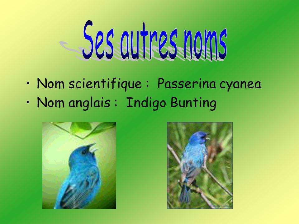 Nom scientifique : Passerina cyanea Nom anglais : Indigo Bunting