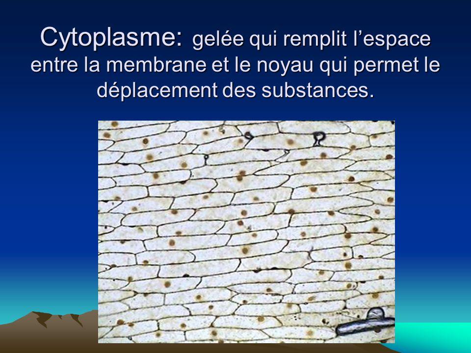 Cytoplasme: gelée qui remplit lespace entre la membrane et le noyau qui permet le déplacement des substances.
