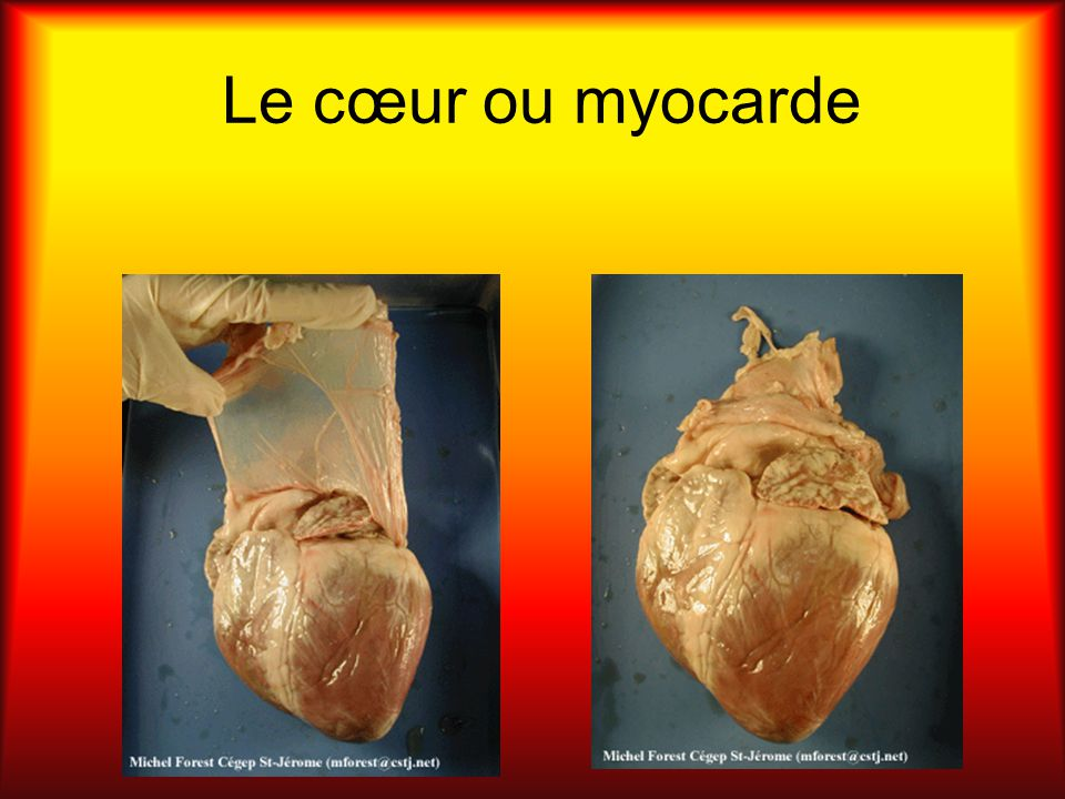 Le cœur ou myocarde