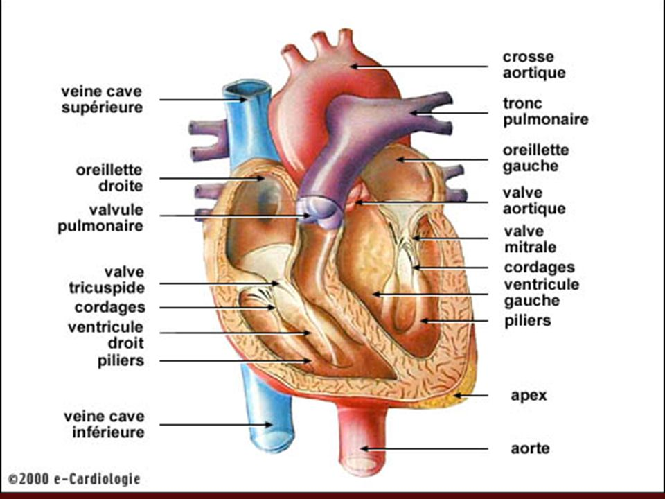 Voir fiche savoir S19 pour la circulation systémique et pulmonaire.