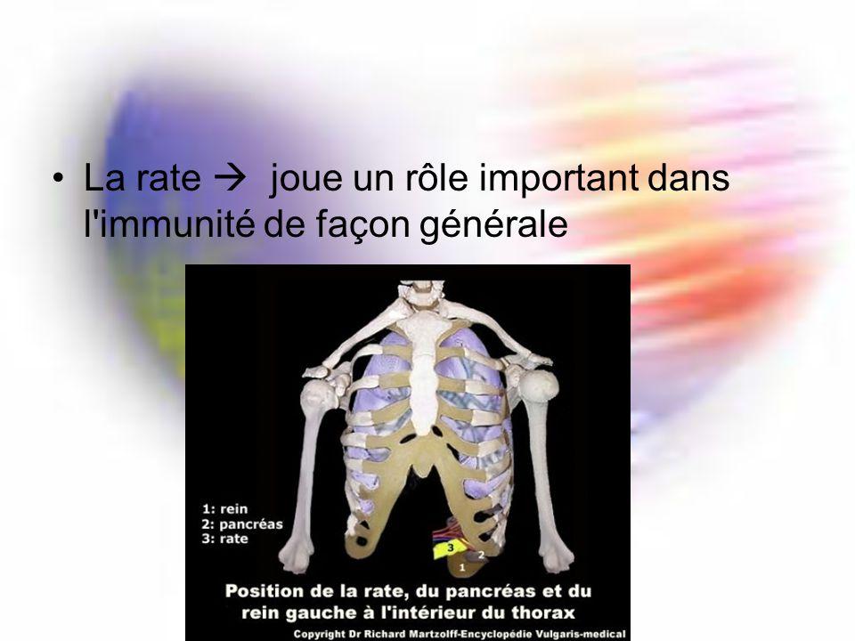 La rate joue un rôle important dans l immunité de façon générale