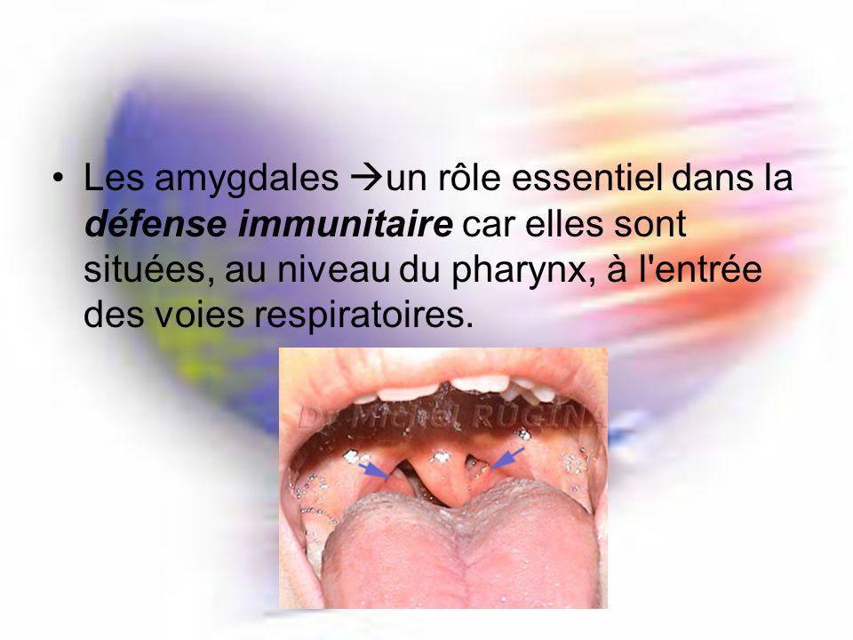 Les amygdales un rôle essentiel dans la défense immunitaire car elles sont situées, au niveau du pharynx, à l entrée des voies respiratoires.