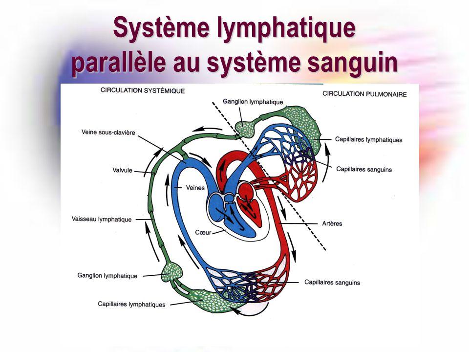 Système lymphatique parallèle au système sanguin