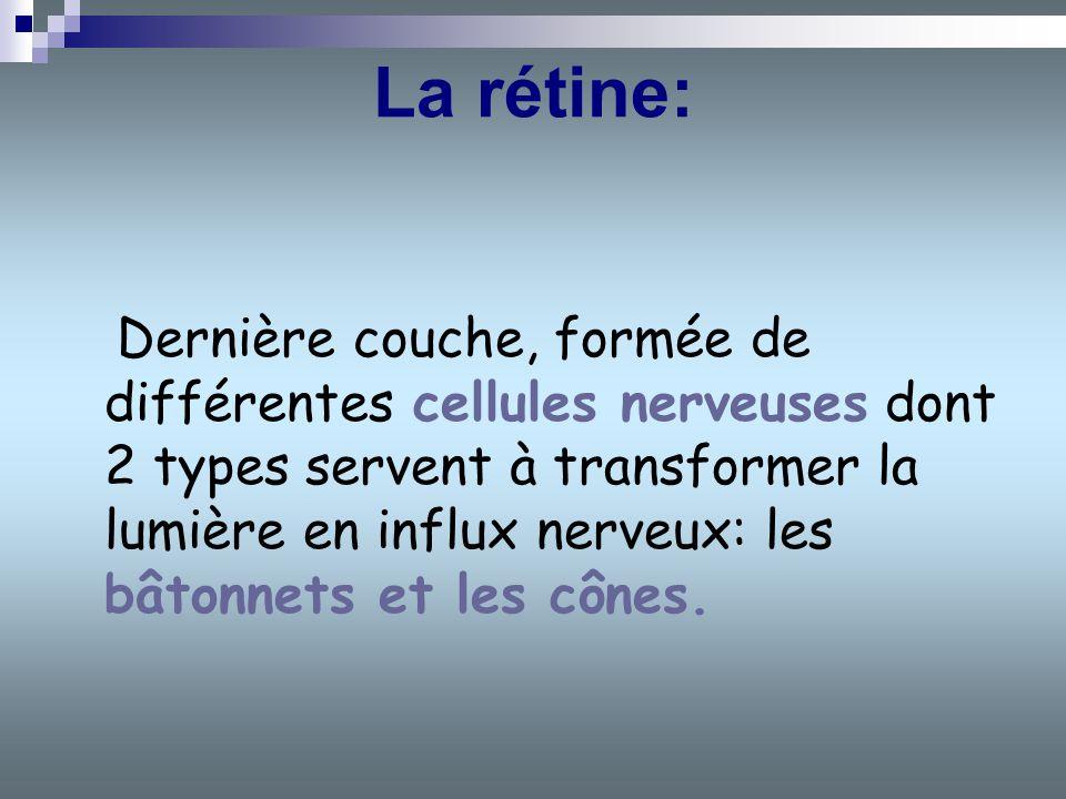 La rétine: Dernière couche, formée de différentes cellules nerveuses dont 2 types servent à transformer la lumière en influx nerveux: les bâtonnets et