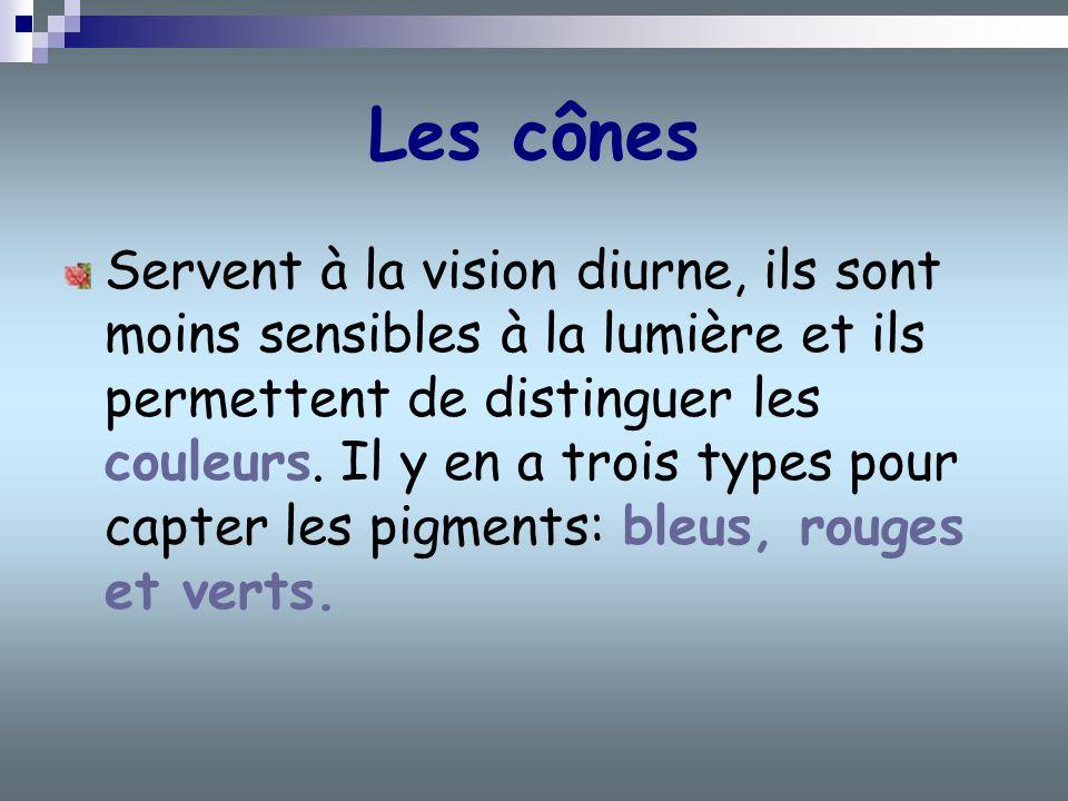 Les cônes Servent à la vision diurne, ils sont moins sensibles à la lumière et ils permettent de distinguer les couleurs. Il y en a trois types pour c