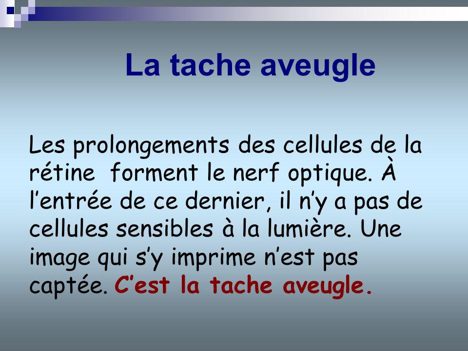 Les prolongements des cellules de la rétine forment le nerf optique. À lentrée de ce dernier, il ny a pas de cellules sensibles à la lumière. Une imag