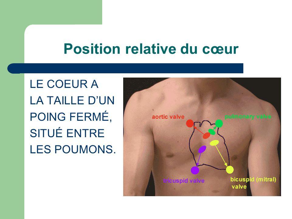 Position relative du cœur LE COEUR A LA TAILLE DUN POING FERMÉ, SITUÉ ENTRE LES POUMONS.