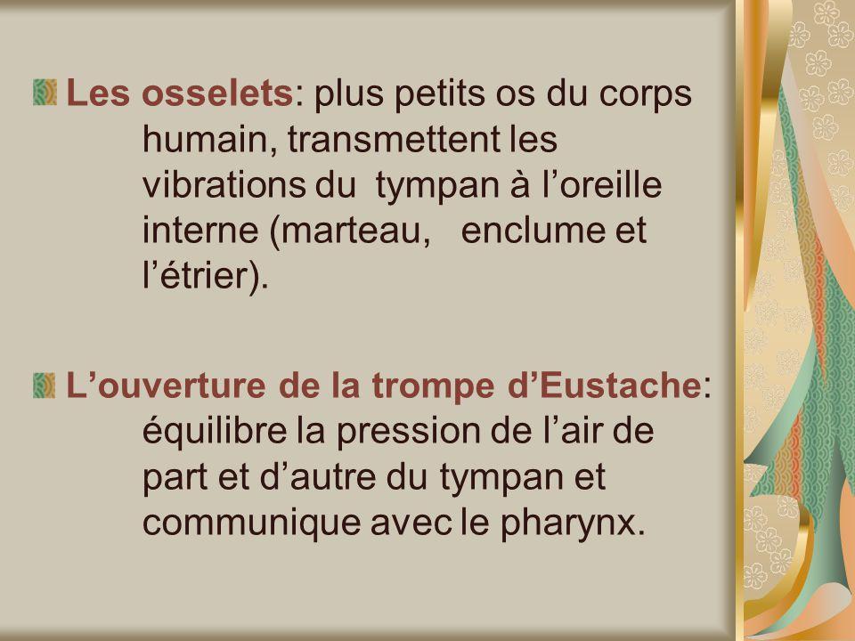 Les osselets: plus petits os du corps humain, transmettent les vibrations du tympan à loreille interne (marteau, enclume et létrier).