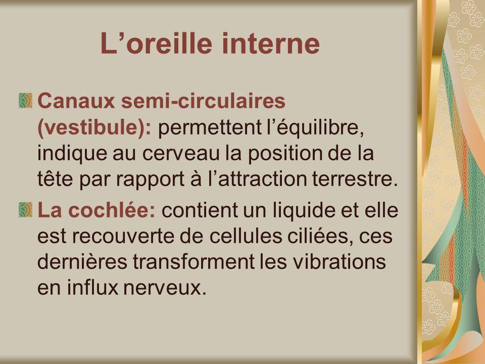 Loreille interne Canaux semi-circulaires (vestibule): permettent léquilibre, indique au cerveau la position de la tête par rapport à lattraction terrestre.