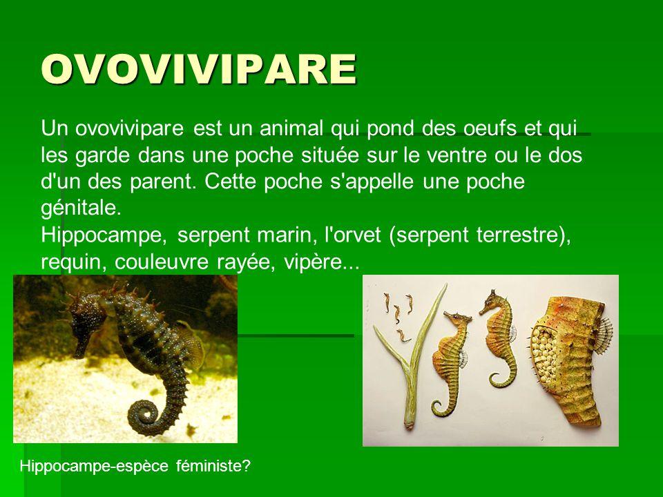 OVOVIVIPARE Un ovovivipare est un animal qui pond des oeufs et qui les garde dans une poche située sur le ventre ou le dos d'un des parent. Cette poch
