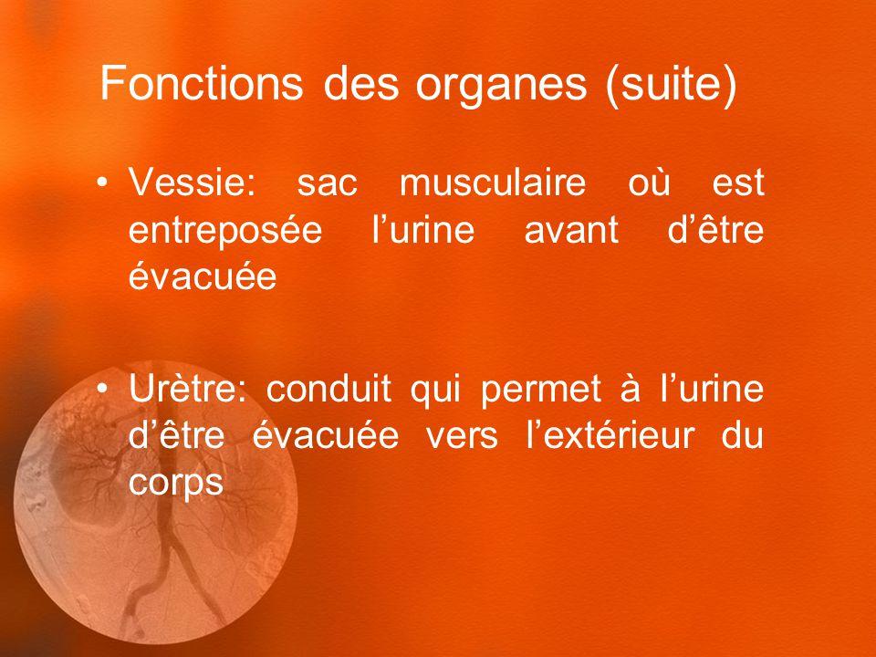 Fonctions des organes (suite) Vessie: sac musculaire où est entreposée lurine avant dêtre évacuée Urètre: conduit qui permet à lurine dêtre évacuée ve