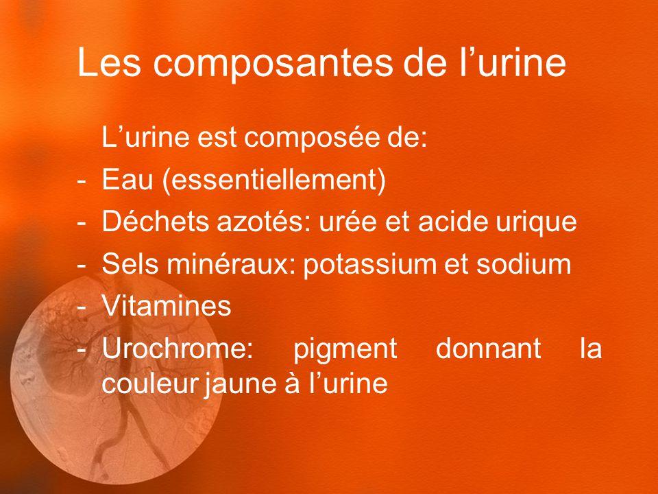Les composantes de lurine Lurine est composée de: -Eau (essentiellement) -Déchets azotés: urée et acide urique -Sels minéraux: potassium et sodium -Vitamines -Urochrome: pigment donnant la couleur jaune à lurine
