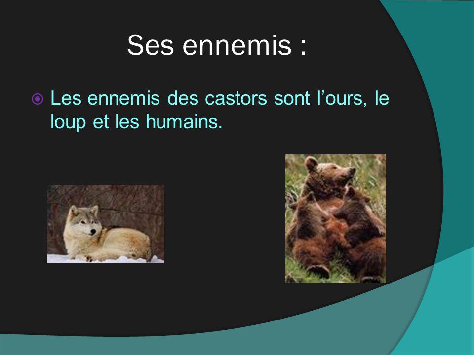 Ses ennemis : Les ennemis des castors sont lours, le loup et les humains.