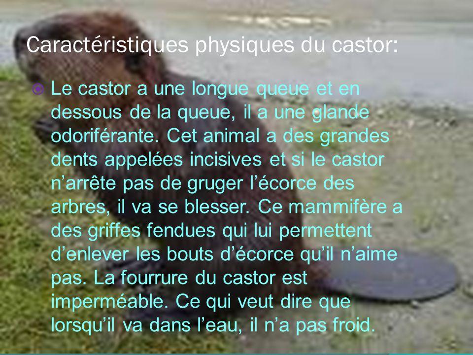 Caractéristiques physiques du castor: Le castor a une longue queue et en dessous de la queue, il a une glande odoriférante.