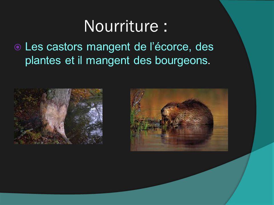 Nourriture : Les castors mangent de lécorce, des plantes et il mangent des bourgeons.