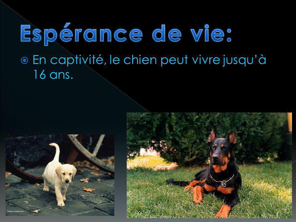 En captivité, le chien peut vivre jusquà 16 ans.