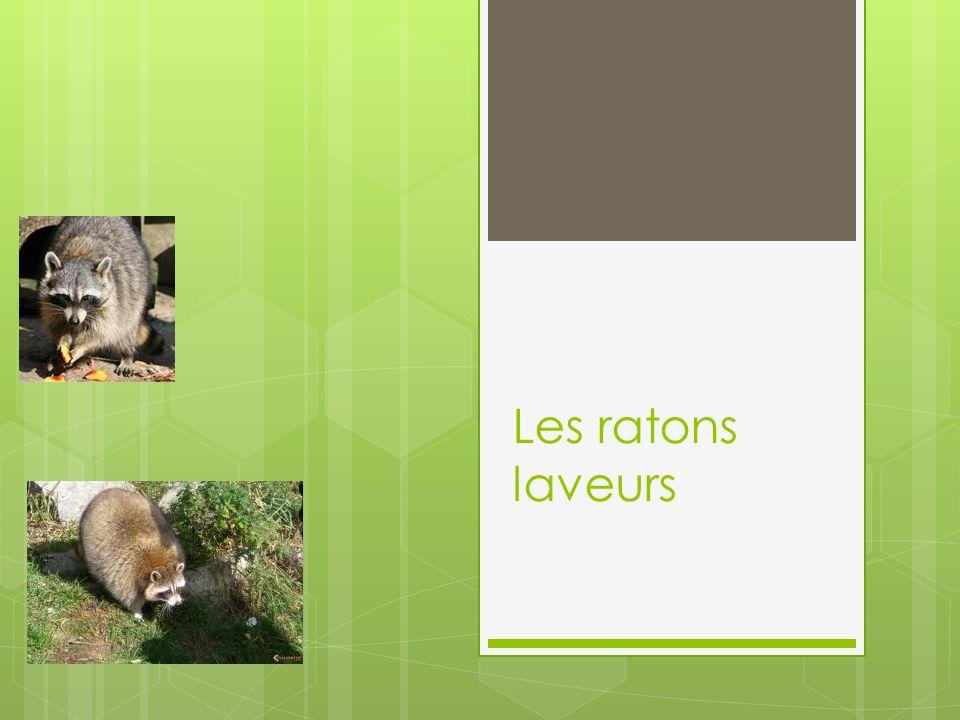 Espérance de vie La longévité du raton laveur est de 5 à 8 ans dans la nature et de 8 à 13 ans en captivité.