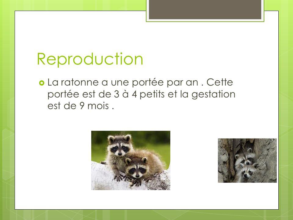 Reproduction La ratonne a une portée par an.