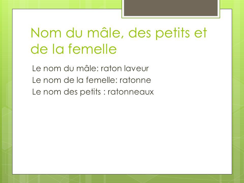 Nom du mâle, des petits et de la femelle Le nom du mâle: raton laveur Le nom de la femelle: ratonne Le nom des petits : ratonneaux