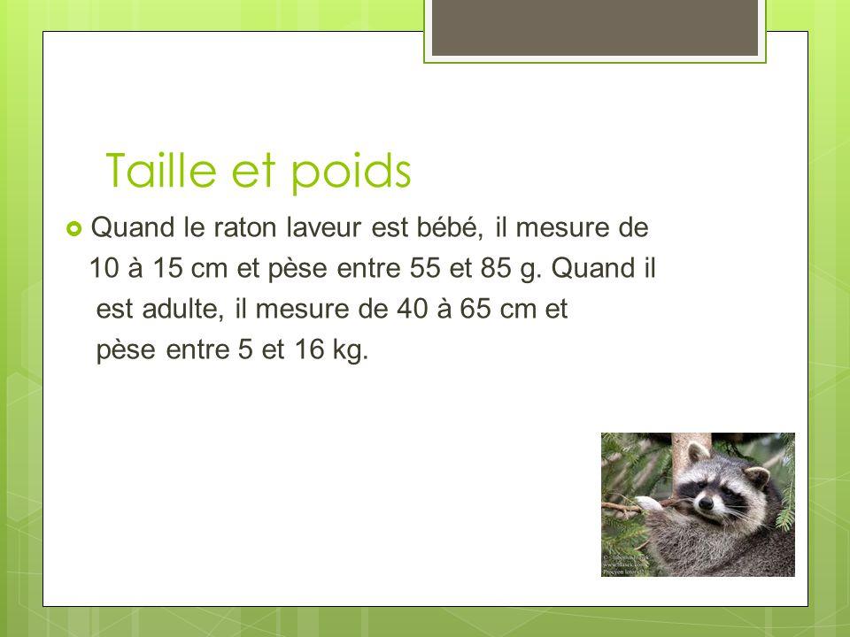 Taille et poids Quand le raton laveur est bébé, il mesure de 10 à 15 cm et pèse entre 55 et 85 g.
