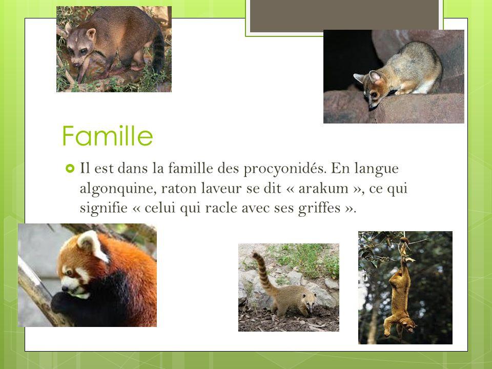 Famille Il est dans la famille des procyonidés.