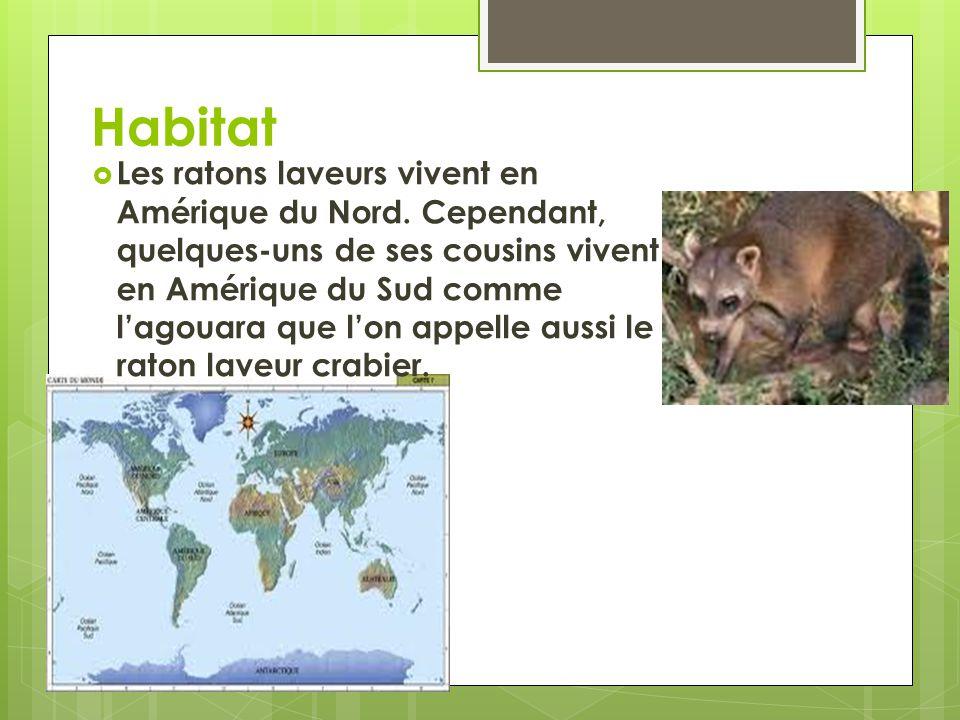 Habitat Les ratons laveurs vivent en Amérique du Nord.