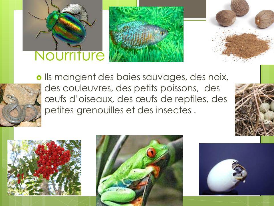 Nourriture Ils mangent des baies sauvages, des noix, des couleuvres, des petits poissons, des œufs doiseaux, des œufs de reptiles, des petites grenouilles et des insectes.