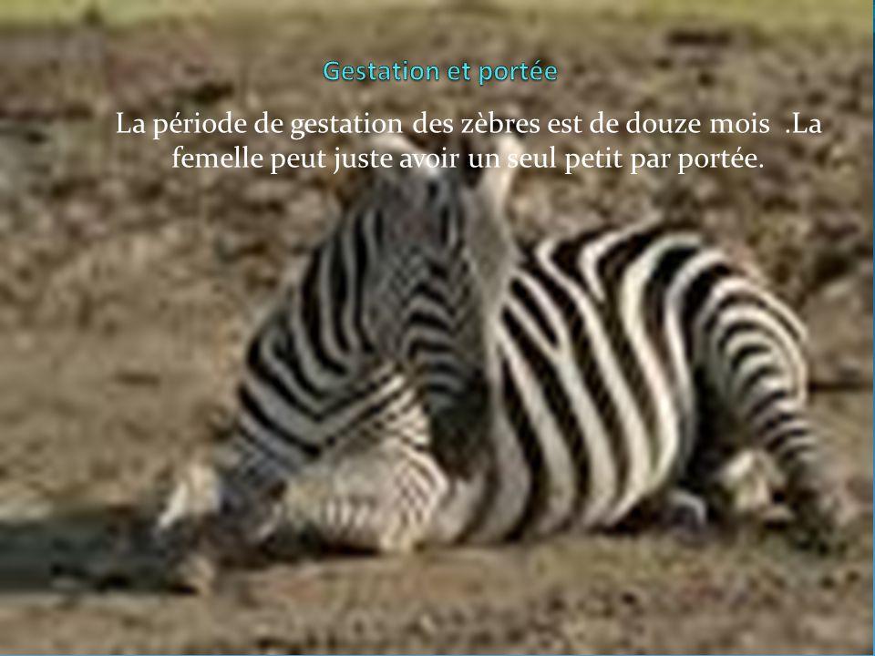 La période de gestation des zèbres est de douze mois.La femelle peut juste avoir un seul petit par portée.