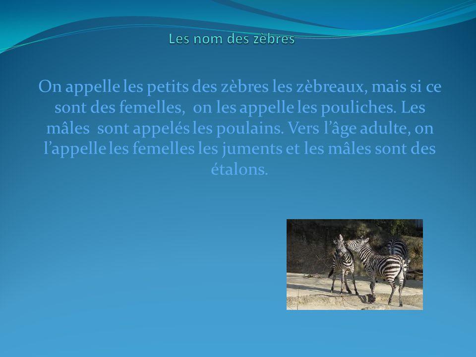 On appelle les petits des zèbres les zèbreaux, mais si ce sont des femelles, on les appelle les pouliches.