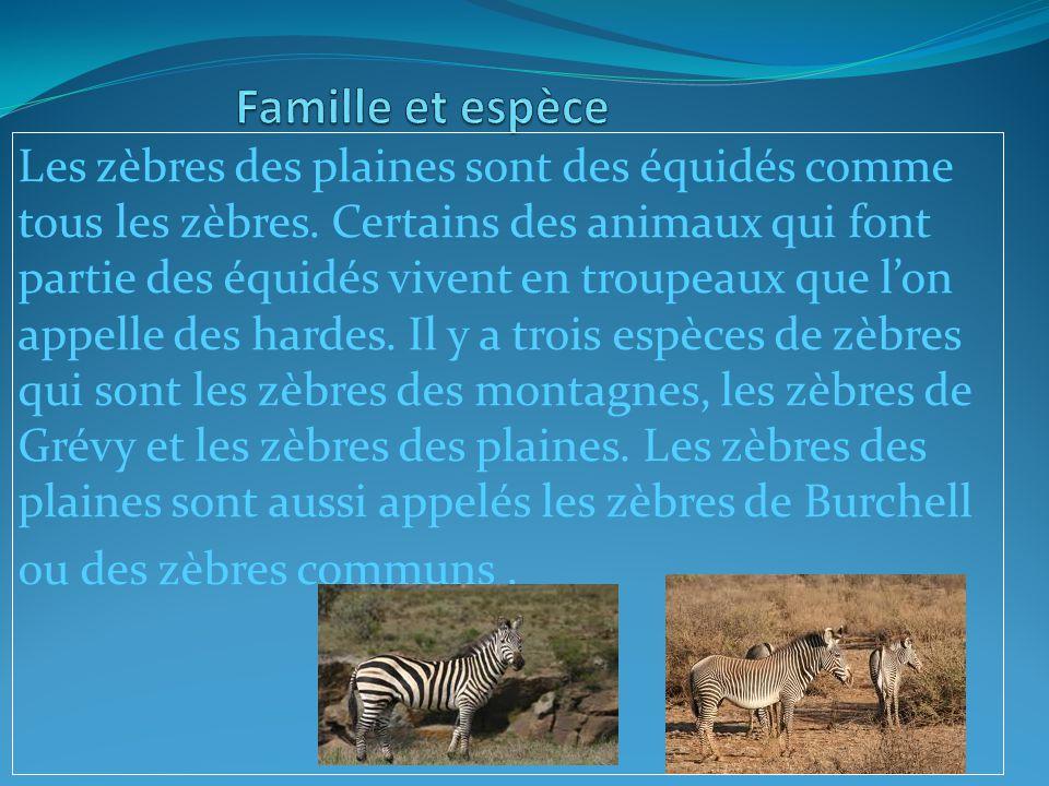 Les zèbres des plaines sont des équidés comme tous les zèbres.