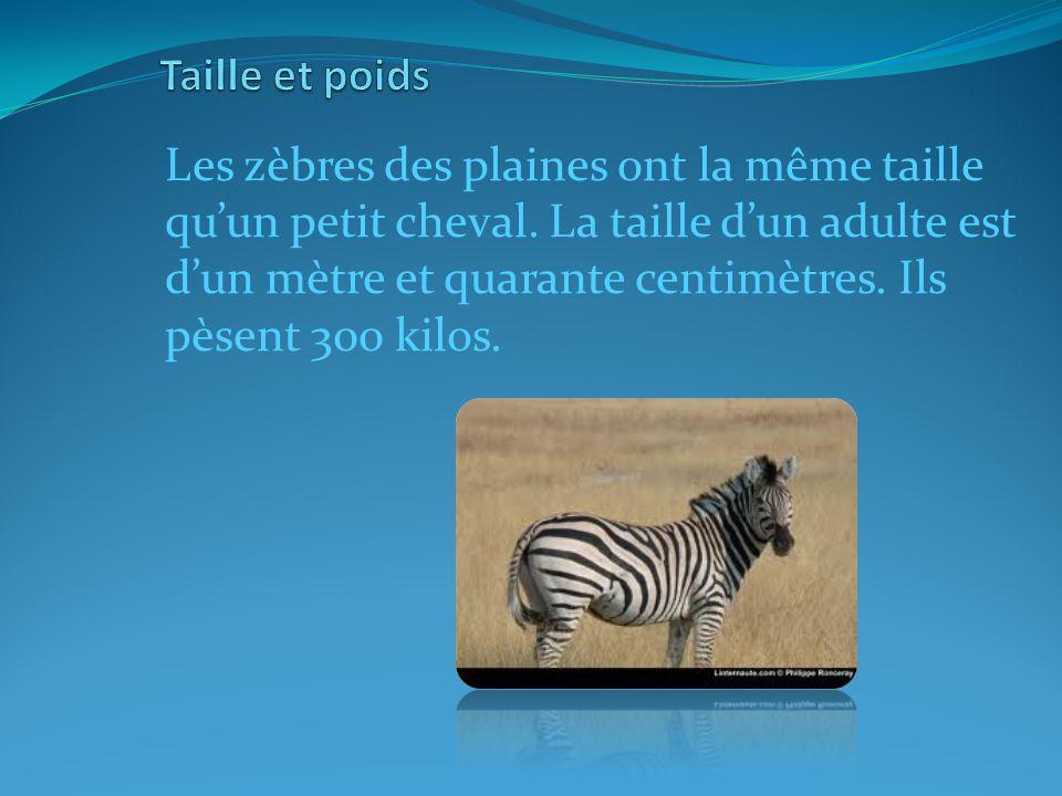 Les zèbres des plaines ont la même taille quun petit cheval.