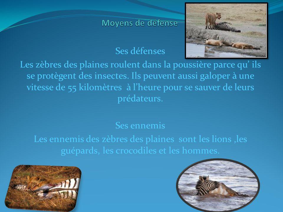 Ses défenses Les zèbres des plaines roulent dans la poussière parce qu ils se protègent des insectes.