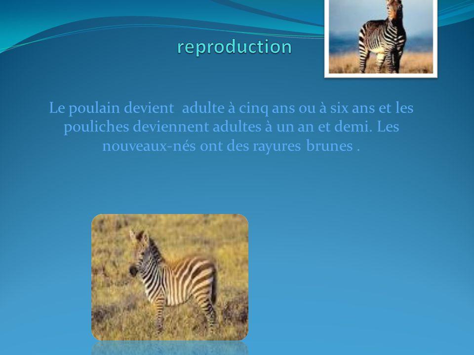 Le poulain devient adulte à cinq ans ou à six ans et les pouliches deviennent adultes à un an et demi.