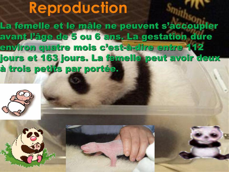 Reproduction La femelle et le mâle ne peuvent saccoupler avant lâge de 5 ou 6 ans. La gestation dure environ quatre mois cest-à-dire entre 112 jours e