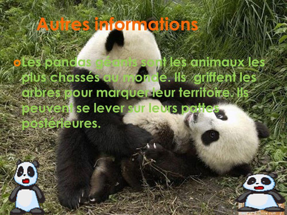 Autres informations Les pandas géants sont les animaux les plus chassés au monde. Ils griffent les arbres pour marquer leur territoire. Ils peuvent se