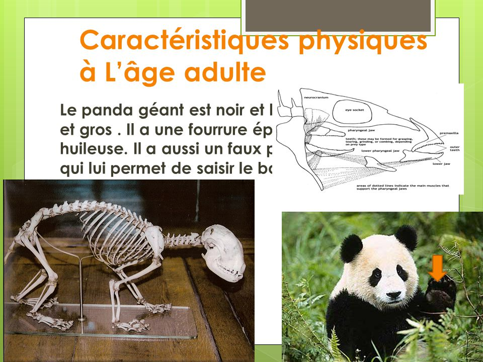 Caractéristiques physiques à Lâge adulte Le panda géant est noir et blanc. Il est fort et gros. Il a une fourrure épaisse et huileuse. Il a aussi un f