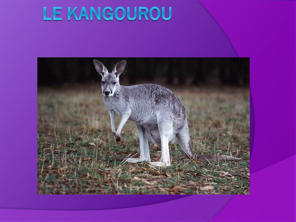 Autres renseignement Saviez-vous que grâce à ses pattes arrière, le kangourou peut rebondir comme un ressort et que sa queue lui permet de se garder en équilibre?