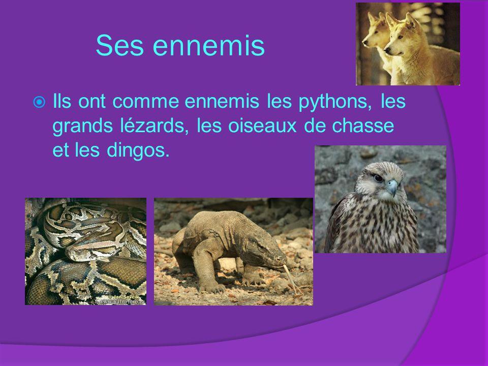 Ses ennemis Ils ont comme ennemis les pythons, les grands lézards, les oiseaux de chasse et les dingos.