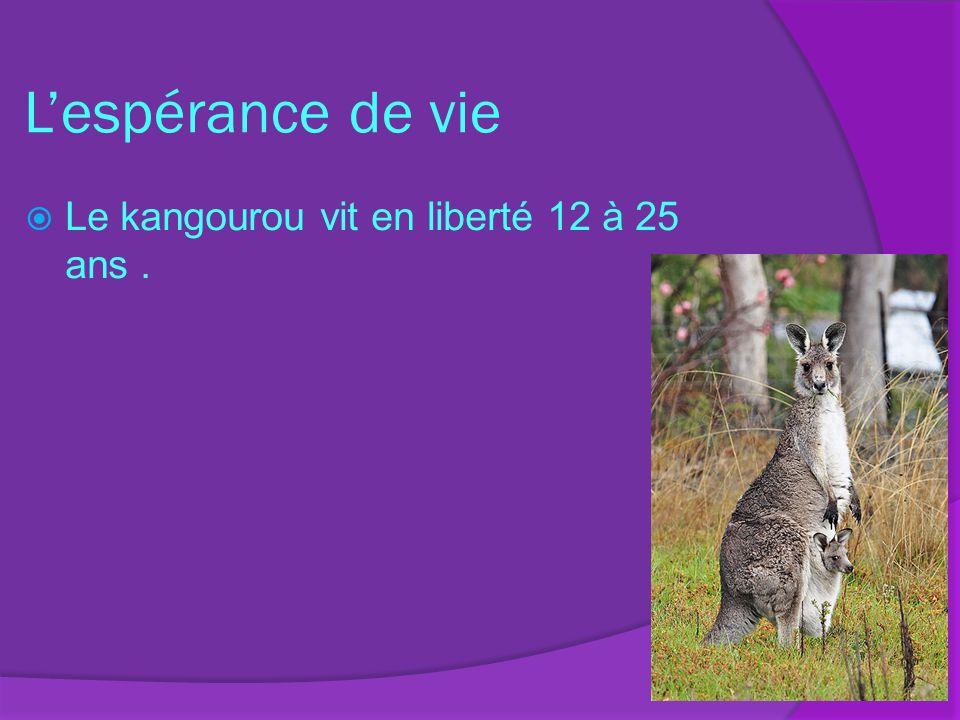 Lespérance de vie Le kangourou vit en liberté 12 à 25 ans.